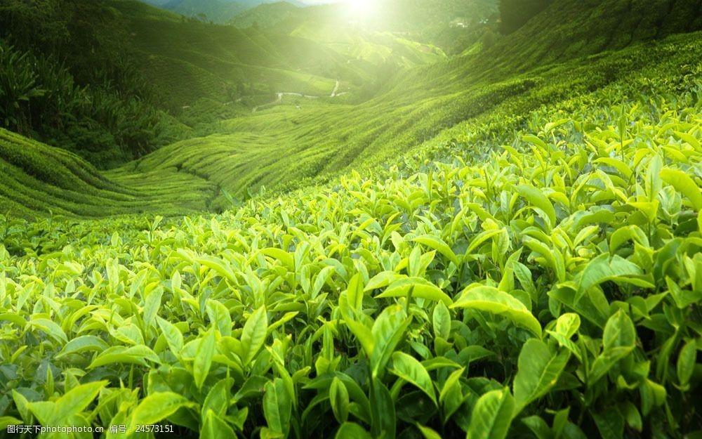 中国进口茶叶清关最多出自哪个国家?